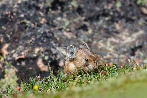 American pika (Ochotona princeps) eating cinquefoil flowers going to seed.  Beartooth Mountains, Wyoming/Montana border.  Summer.  This photo was taken in alpine setting at around 11,000 feet (3350 meters) elevation.