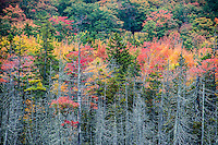 Autumn forest trees,  Acadia National Park, Maine, USA