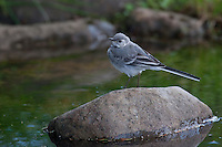 Bachstelze, Jungvogel, Motacilla alba, pied wagtail, pied white wagtail