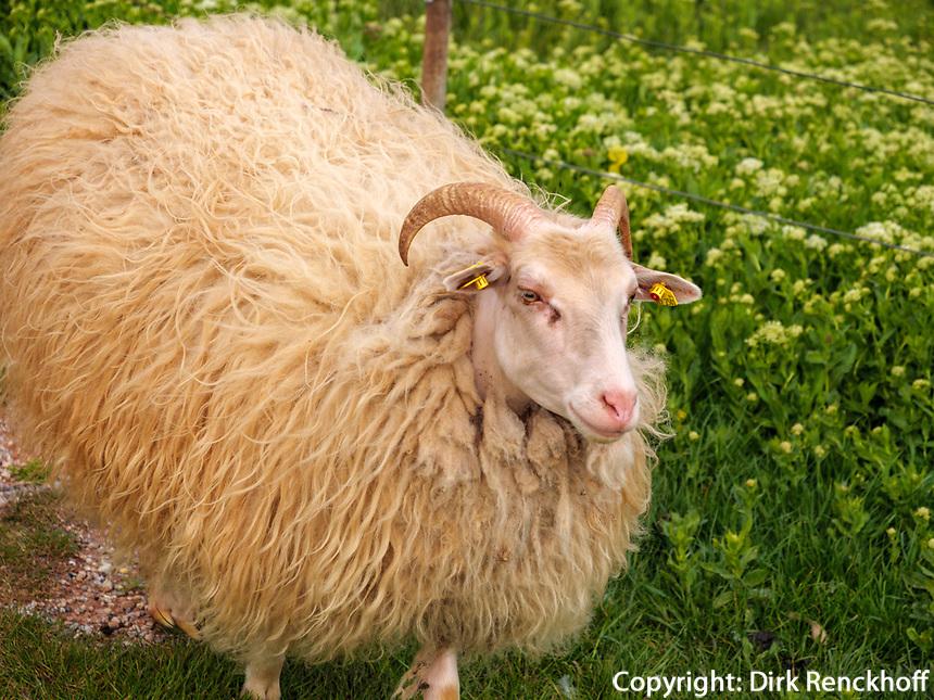 Schafe auf dem Oberland, Insel Helgoland, Schleswig-Holstein, Deutschland, Europa<br /> sheep, Oberland, with village Helgoland island, district Pinneberg, Schleswig-Holstein, Germany, Europe