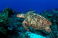 The hawksbill turtle [Eretmochelys imbricata] has a more elongated neck compared to other species of sea turtles.