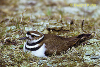 1K02-001d  Killdeer - adult sitting on eggs at nest site - Charadrius vociferus
