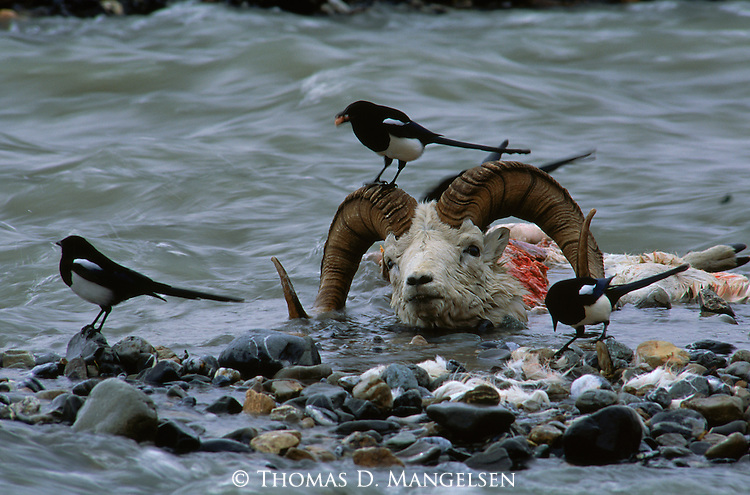 Magpies stand near the carcass of a Dall sheep in Denali National Park, Alaska.