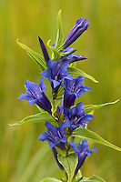 Schwalbenwurz-Enzian, Schwalbenwurzenzian, Blaue Kreuzwurz, Gentiana asclepiadea, Willow gentian