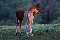 Two young foals who are friends calmly watch older studs fight, learning the behavior they will imitate.