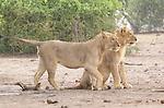 A pair of young lion brothers surveys the Chobe floodplain.  <br /> <br /> Chobe National Park, Botswana.