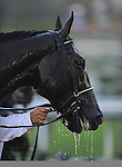 Nov. 03, 2012 - Arcadia, California, U.S -  Fort Larned receives a much deserved drink of water after winning the Breeders' Cup Classic at Santa Anita Park in Arcadia, CA. (Credit Image: © Jimmy Jones/Eclipse/ZUMAPRESS.com)