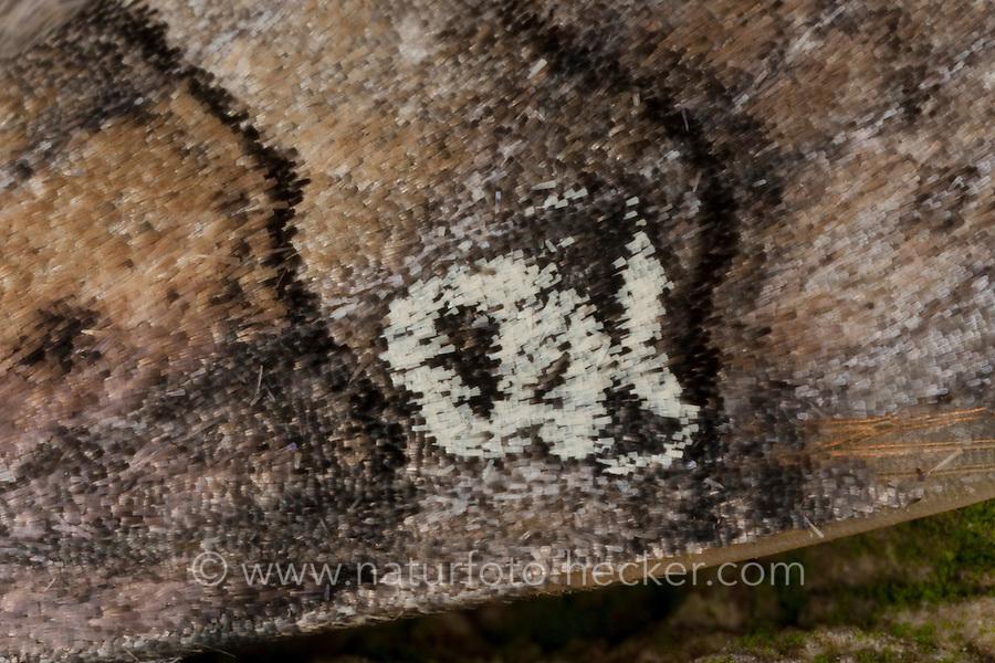 Augen-Eulenspinner, Achtzigeule, Pappelhain-Eulenspinner, Schwarzgebändeter Wollrückenspinner, charakteristsiche Zeichnung auf dem Vorderflügel, Tethea ocularis, Palimpsestis ocularis, figure of eighty