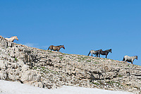 Wild Horses or feral horses (Equus ferus caballus) on mountain ridge above late melting snowbank.  Western U.S., summer.