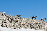 Wild Horses or feral horses (Equus ferus caballus) on mountain ridge above late melting snowbank.  Western U.S., summer.