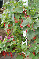 Red currants Cherry Red Ribes