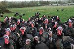 Free range Christmas Turkey Fosse Meadows Farm Leicestershire UK
