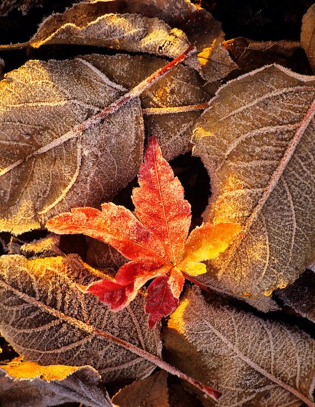 Frozen leaves. Near Alpine, Oregon.