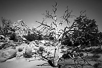 Old, warped, lack-and-white dead tree with desert vegetation and boulder rocks in Joshua Tree National Park, California USA