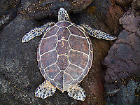 A green sea turtle (or honu) takes a rest on harsh lava rock, Kekaha Kai State Park, Big Island.
