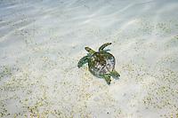 Green sea turtle, Chelonia mydas, endangered (IUCN), Tubbataha Natural Park, Natural World Heritage Site, Sulu Sea, Cagayancillo, Palawan, Philippines