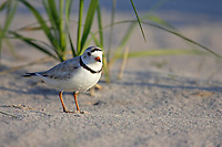 Piping Plover (Charadrius melodus), male in breeding plumage, on beach with dunegrass.