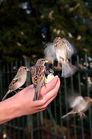 Sparrow bird eating a piece of bread holding by a the hand of the teenager, Paris, capital of France