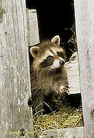MA21-035x  Raccoon - young animal exploring in barn - Procyon lotor