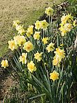 Tahiti Daffodil, Narcissus hybrid