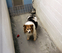 Lucky, remains in a kennel at the King County Animal Shelter in Kent, WA on October 1, 2010 while a cruelty investigation is underway charging his owners with leaving him unattended for months.  (photo © Karen Ducey 2010)