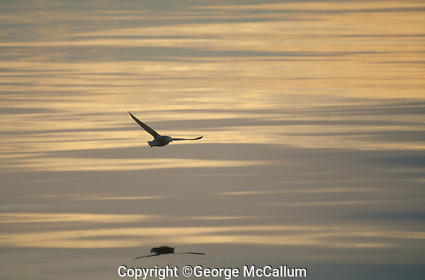 Northern fulmar Fulmarus glacialis gliding over Greenland sea North atlantic