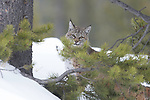 North American Bobcat (Lynx rufus) in conifer forest. Madison River Valley, Yellowstone National Park, Wyoming, USA. January