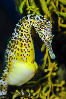 big-belly seahorse or pot-bellied seahorse, Hippocampus abdominalis, pregnant male,  with brood pouch (c)