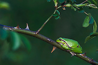 Common Tree Frog, Hyla arborea, adult resting in wild rose bush, National Park Lake Neusiedl, Burgenland, Austria, Europe