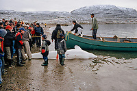 Inuit hunters return to Cape Dorset with a beluga whale, Delphinapterus leucas, they have caught. Baffin Is, Nunavut, Canada, Arctic