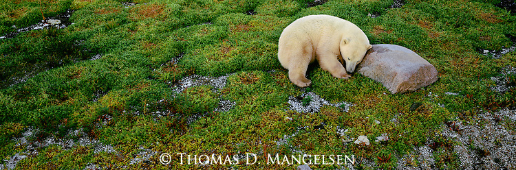A polar bear sleeps in the green tundra at Cape Churchill in Manitoba, Canada.