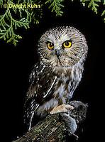 OW03-066z  Saw-whet owl - with mouse prey - Aegolius acadicus