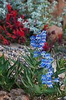 Blue Penstemon angustifolius Narrow-leaved Beardtongue flowering in David Salman New Mexico xeric rock garden