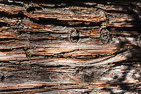 Deeply lined bark of a Redwood tree turned sideways to reveal two eyes and a mouth hiding in the knots and creases.