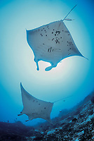 reef manta ray, Manta alfredi, at cleaning station, Manta Point, Gan, Maradhoo, Addu Atoll, Maldives, Laccadive Sea or Lakshadweep Sea, Indian Ocean