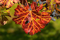 A petit verdot leaf in autumn colours colors red and yellow - Château Pey la Tour, previously Clos de la Tour or de Latour, Bordeaux, France