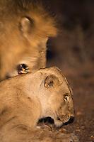 Lions mate at night in MalaMala.