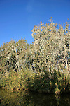 Israel, Sharon region, Cormorants on Eucalyptus trees by Hadera River