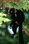 Black lemur hanging in a tree, Madagascar