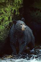 Black bear (Ursus americanus) standing in stream.