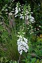 "Digitalis purpurea 'Alba' and Pennisetum setaceum. Woodland section of ""Urban Oasis"" show garden, designed by Chris Beardshaw, Hampton Court Flower Show 2012."