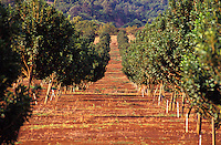 Rows of macadamia nut trees in Hawaii