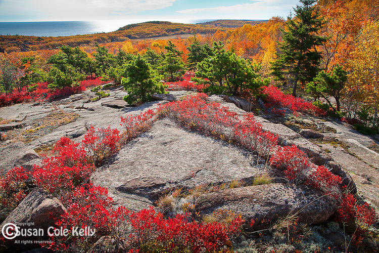 Autumn colors the blueberry groundcover on Champlain Mountain in Acadia National Park, Downeast, ME, USA