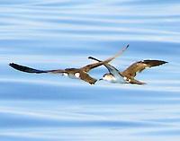 Pair of Audubon's shearwaters in flight