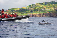 Atlantic Spotted Dolphins, Stenella frontalis, bow-riding, tourists on boat, Azores, Portugal, Atlantic Ocean