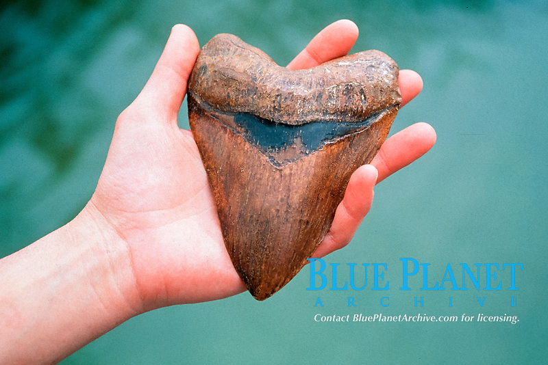 fossil tooth of megalodon, Carcharocles megalodon, an extinct species of shark