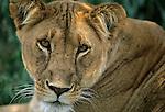 Portrait of Lioness (Panthera leo). Serengeti National Park - Tanzania