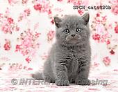 Xavier, ANIMALS, REALISTISCHE TIERE, ANIMALES REALISTICOS, cats, photos+++++,SPCHCATS820B,#A#