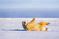 polar bear, Ursus maritimus, rolling around on the pack ice of the frozen 1002 coastal plain of the Arctic National Wildlife Refuge, Alaska, polar bear, Ursus maritimus