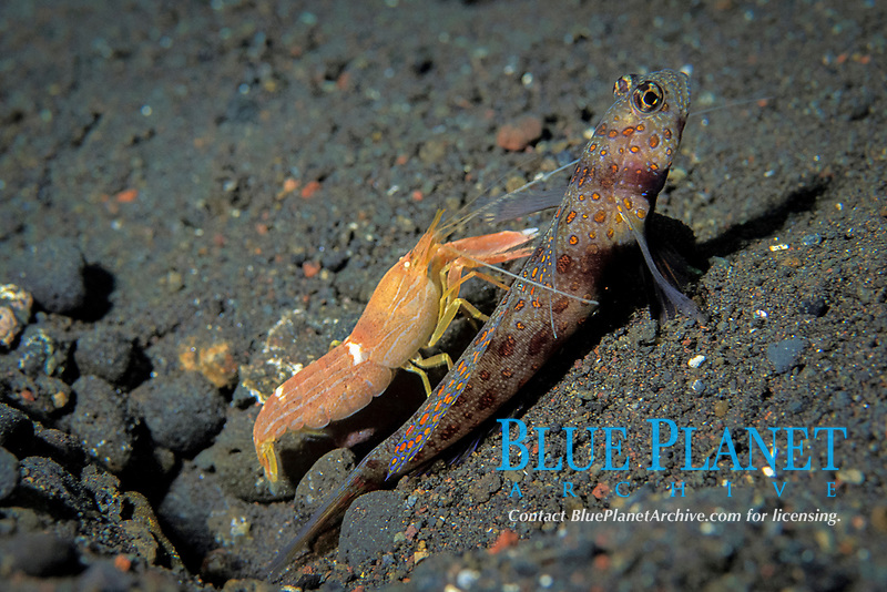 partner shrimp, Alpheus ochrostriatus, & goby, Amblyeleotris guttata, have symbiotic relationship: goby acts as watchdog; blind shrimp constructs burrow while keeping antenna on goby to monitor movements, Tulamben, Bali, Indonesia